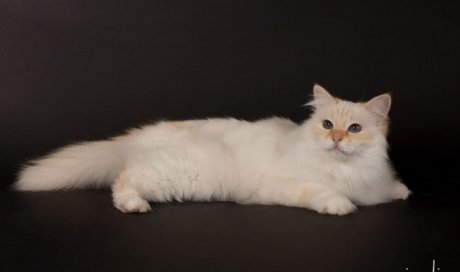 Rosemary - Elevage et pension pour chat Sanary-sur-Mer