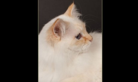 Rosemary - Elevage et pension pour chat Ollioules