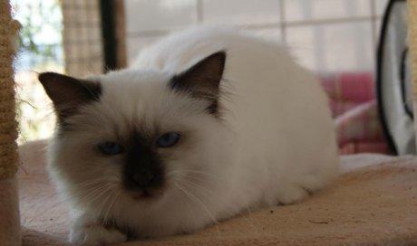Blue Kaori Victoria Elevage et pension pour chat La Seyne-sur-Mer