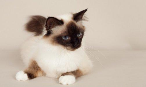 Dapone - Elevage et pension pour chat Carqueiranne