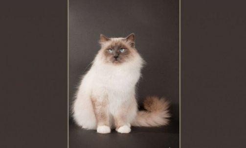 Droopy - Elevage et pension pour chat Carqueiranne