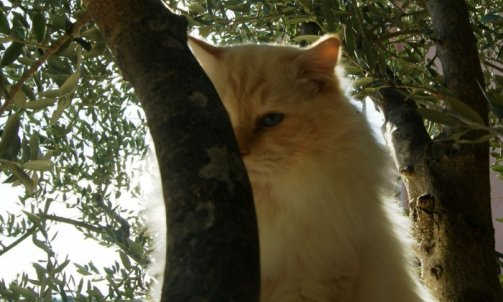 Dempsey - Elevage et pension pour chat Carqueiranne