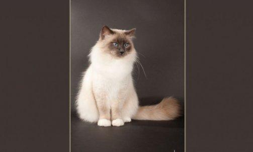 Droopy - Elevage et pension pour chat Cuers