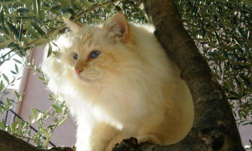 Dempsey - Elevage et pension pour chat Cuers