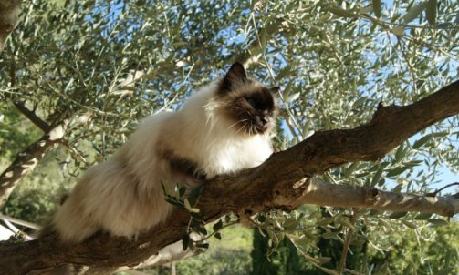 Andalouse - Elevage et pension pour chat Sanary-sur-Mer