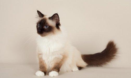 Dapone - Elevage et pension pour chat La Crau