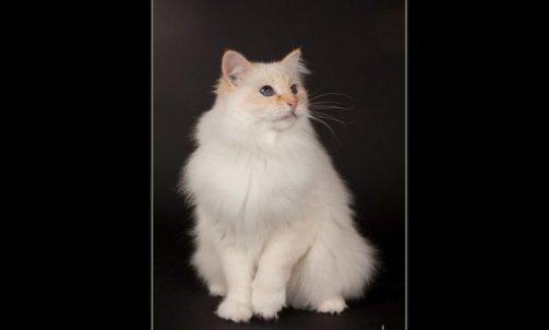 Rosemary - Elevage et pension pour chat La Seyne-sur-Mer