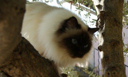 Andalouse - Elevage et pension pour chat Hyères