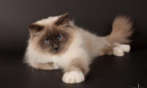 Droopy - Elevage et pension pour chat Le Lavandou