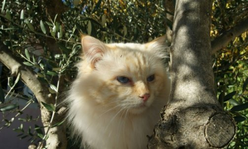 Dempsey - Elevage et pension pour chat Le Lavandou