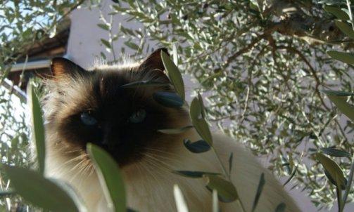 Andalouse - Elevage et pension pour chat Ollioules