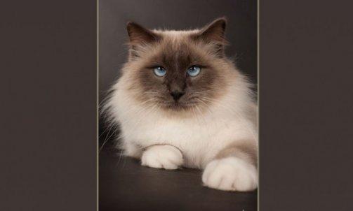 Droopy - Elevage et pension pour chat Bormes-les-Mimosas