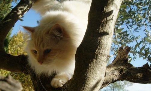 Dempsey - Elevage et pension pour chat Bormes-les-Mimosas