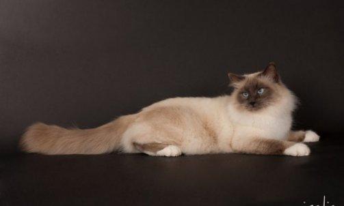 Droopy - Elevage chat Le Lavandou
