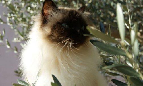Andalouse - Elevage chat Le Lavandou