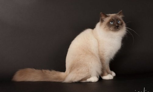 Droopy - Elevage chat Bormes-les-Mimosas