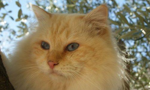 Dempsey - Elevage chat La Seyne-sur-Mer