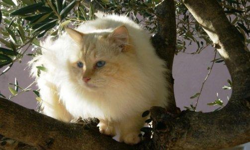 Dempsey - Elevage chat Le Lavandou