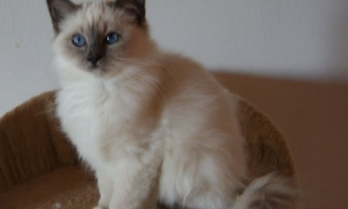 Chaton 2011 chat de race / Elevage de sacré de birmanie / Bormes-les-Mimosas