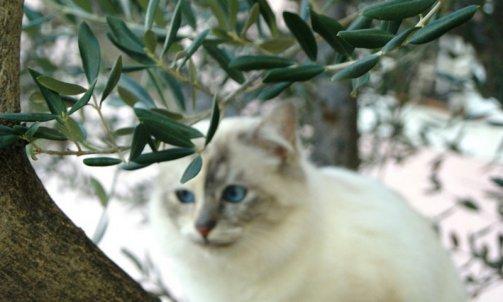 Etoile - Elevage et pension pour chat Sanary-sur-Mer