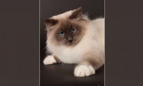 Droopy - Elevage et pension pour chat Sanary-sur-Mer