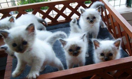 Chaton 2011 Exposition de chats Le Lavandou