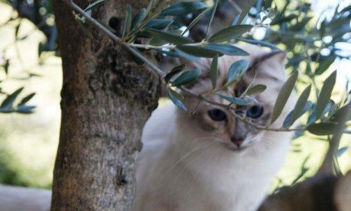 Etoile - Elevage et pension pour chat La Seyne-sur-Mer