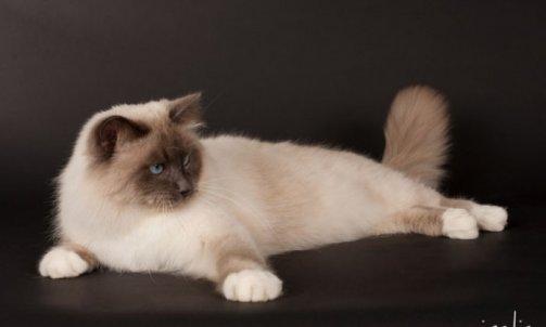 Droopy - Elevage et pension pour chat La Seyne-sur-Mer