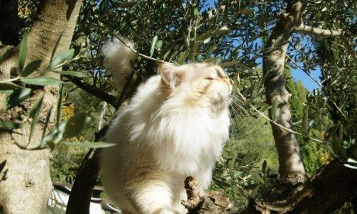 Dempsey - Elevage et pension pour chat La Seyne-sur-Mer