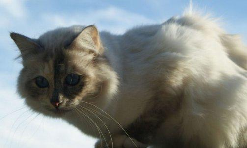 Etoile - Elevage et pension pour chat Hyères