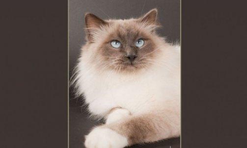 Droopy - Elevage et pension pour chat La Crau