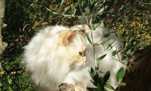 Dempsey - Elevage et pension pour chat La Crau