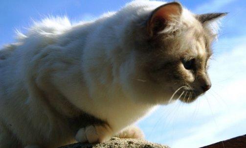 Etoile - Elevage et pension pour chat Le Lavandou