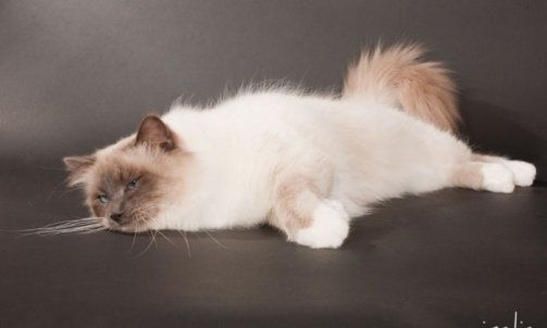 Droopy - Elevage et pension pour chat Ollioules