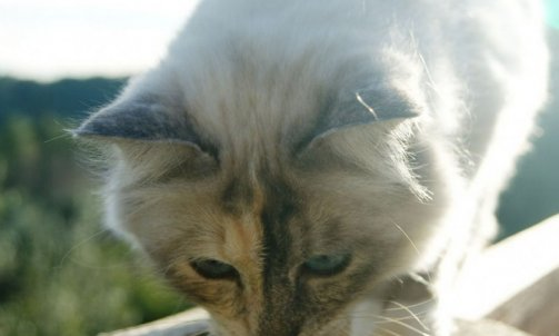 Etoile - Elevage et pension pour chat Bormes-les-Mimosas